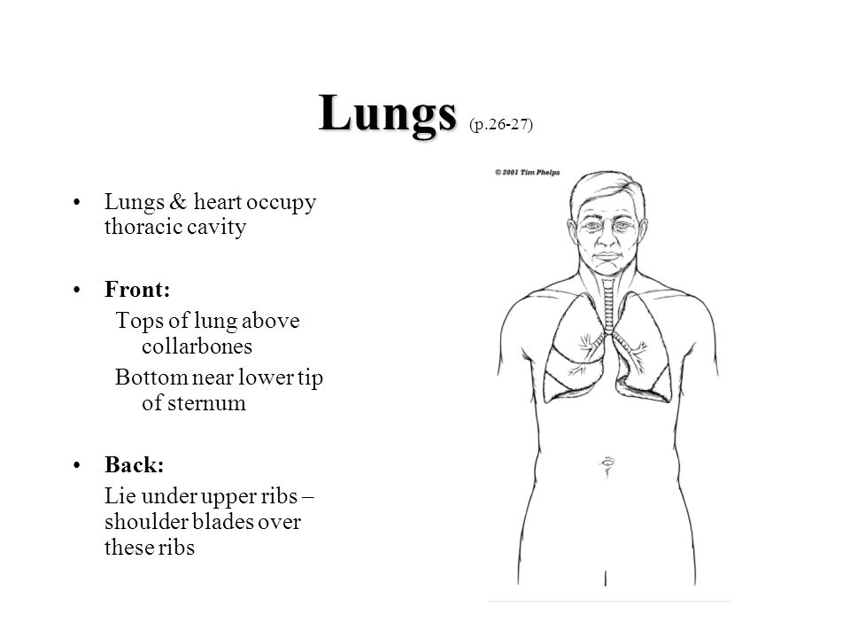 Lungs (p.26-27) Lungs & heart occupy thoracic cavity Front: