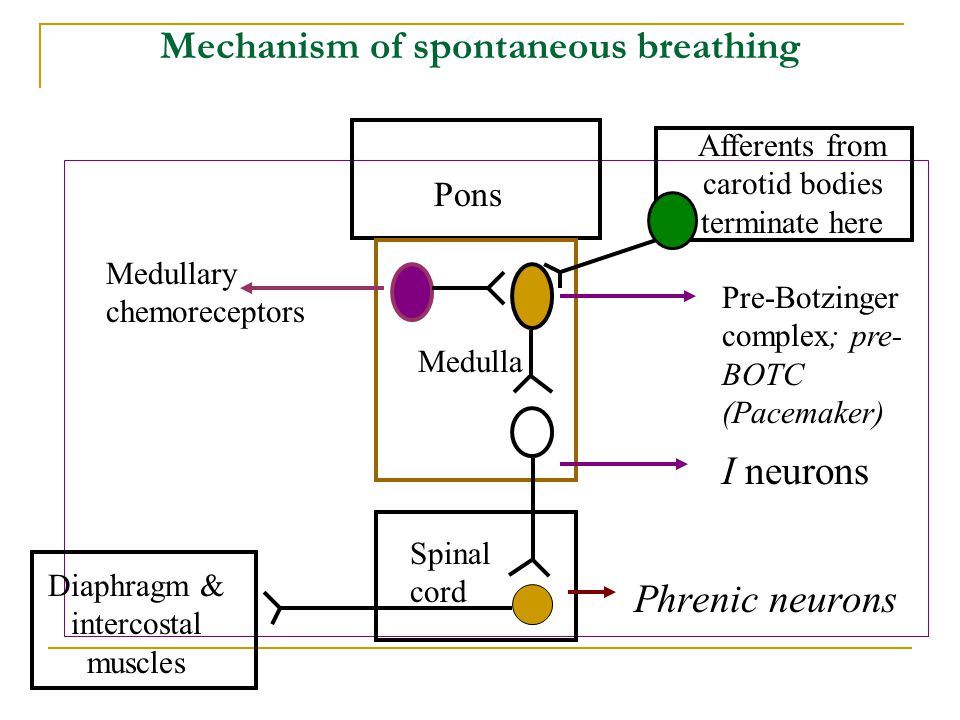 Mechanism of spontaneous breathing