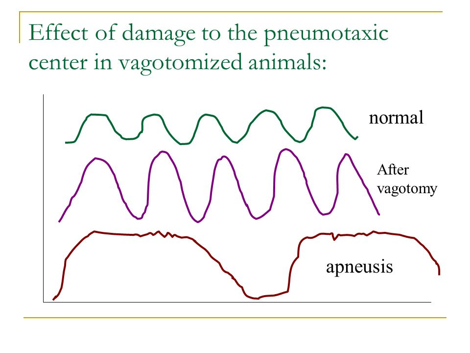 Effect of damage to the pneumotaxic center in vagotomized animals: