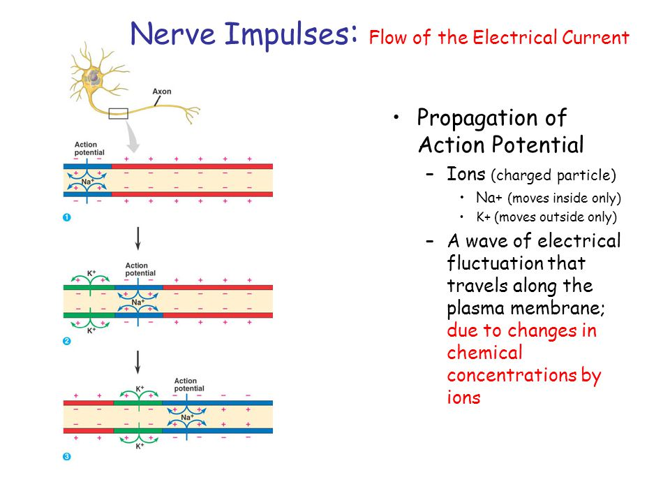 Nerve Impulses: Flow of the Electrical Current