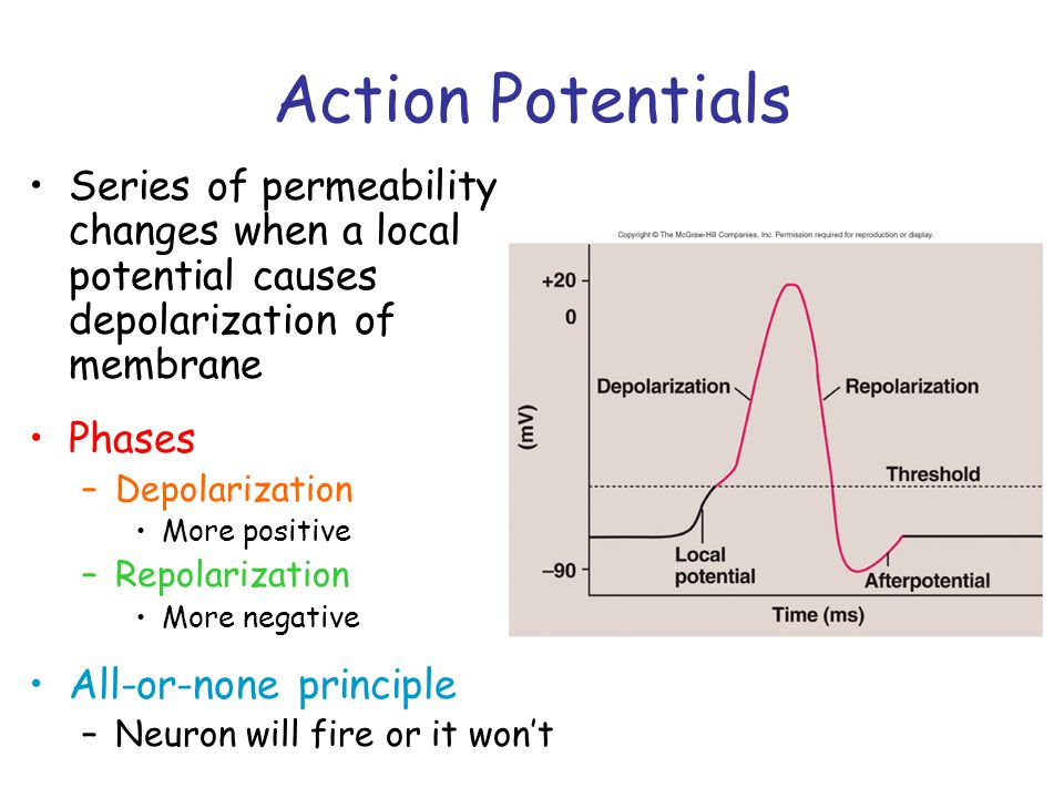 Action Potentials Series of permeability changes when a local potential causes depolarization of membrane.
