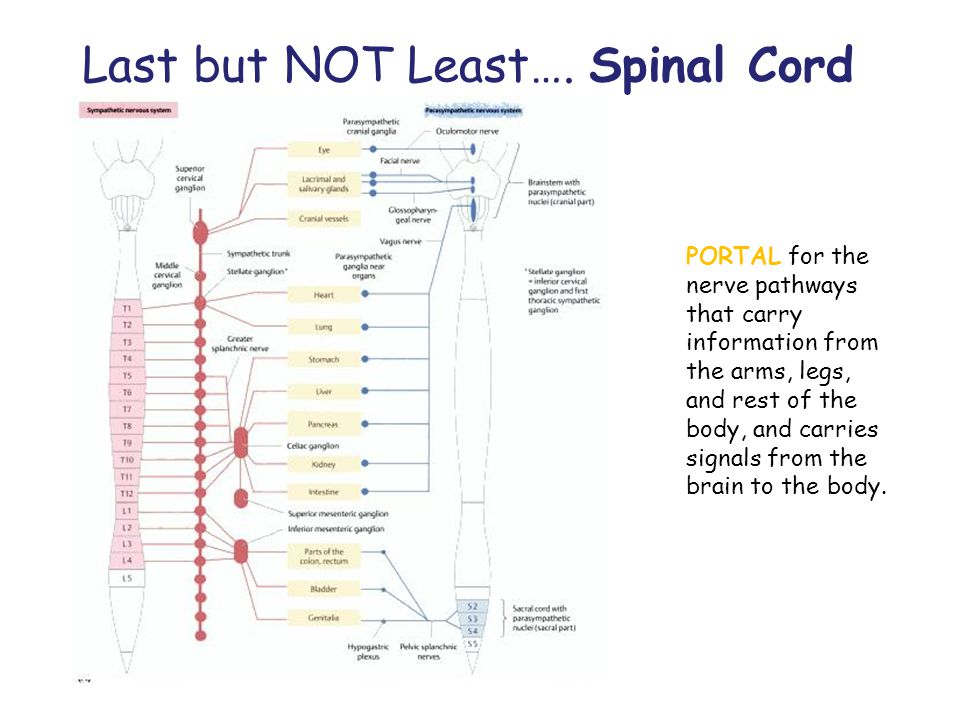 Last but NOT Least…. Spinal Cord