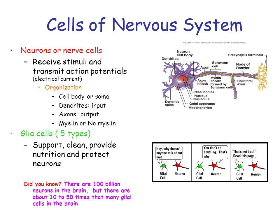 Cells of Nervous System