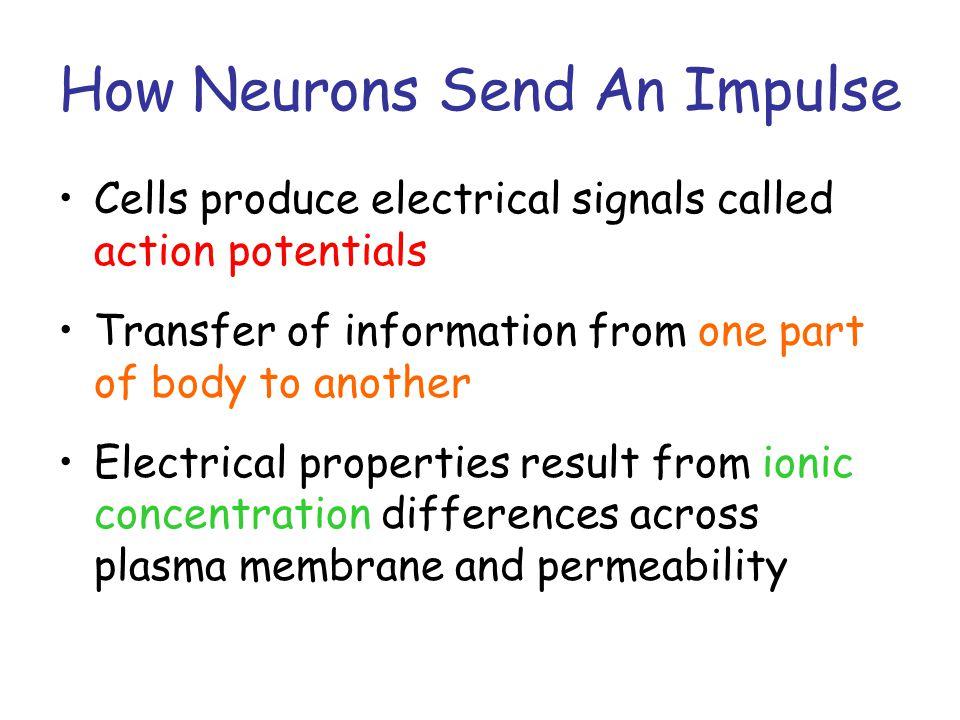 How Neurons Send An Impulse