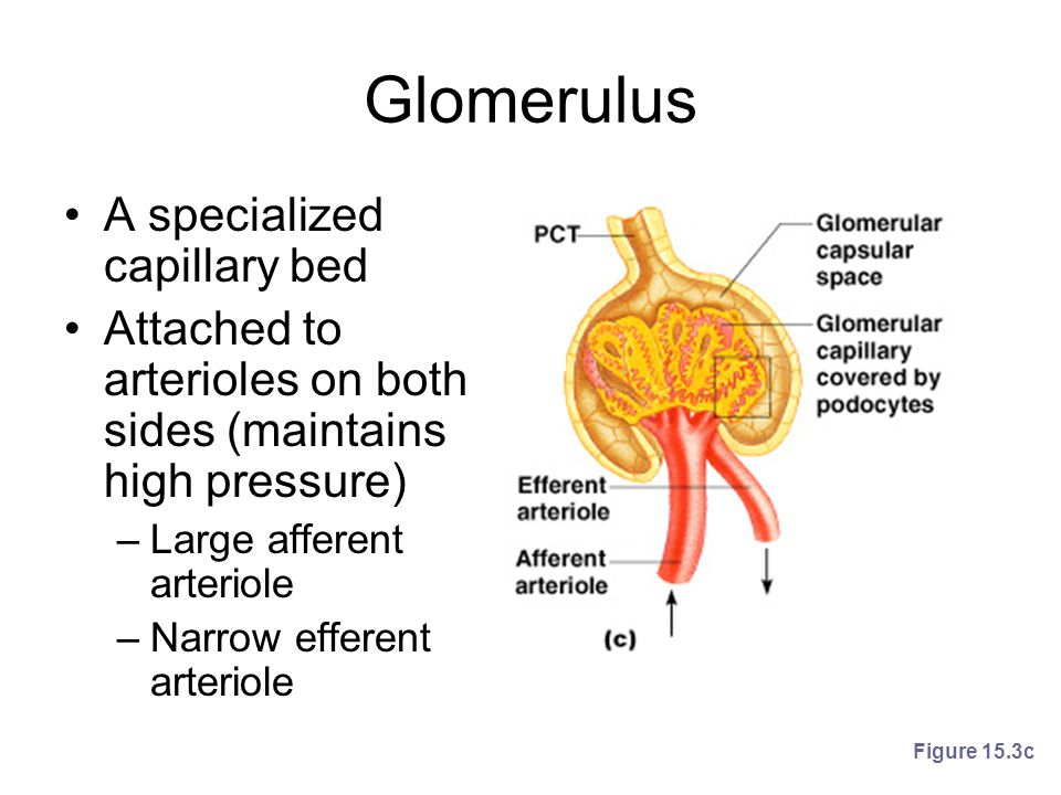 Glomerulus A specialized capillary bed