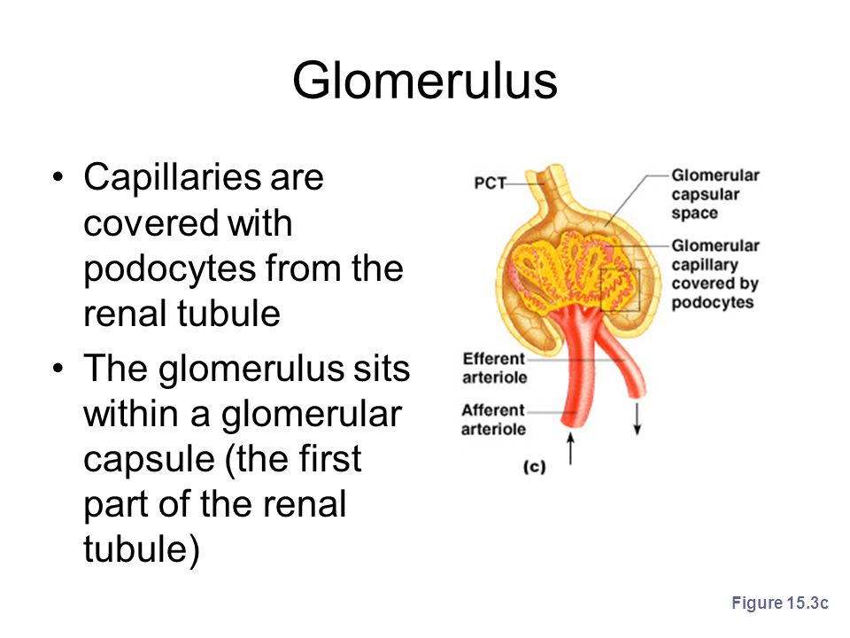 Glomerulus Capillaries are covered with podocytes from the renal tubule.