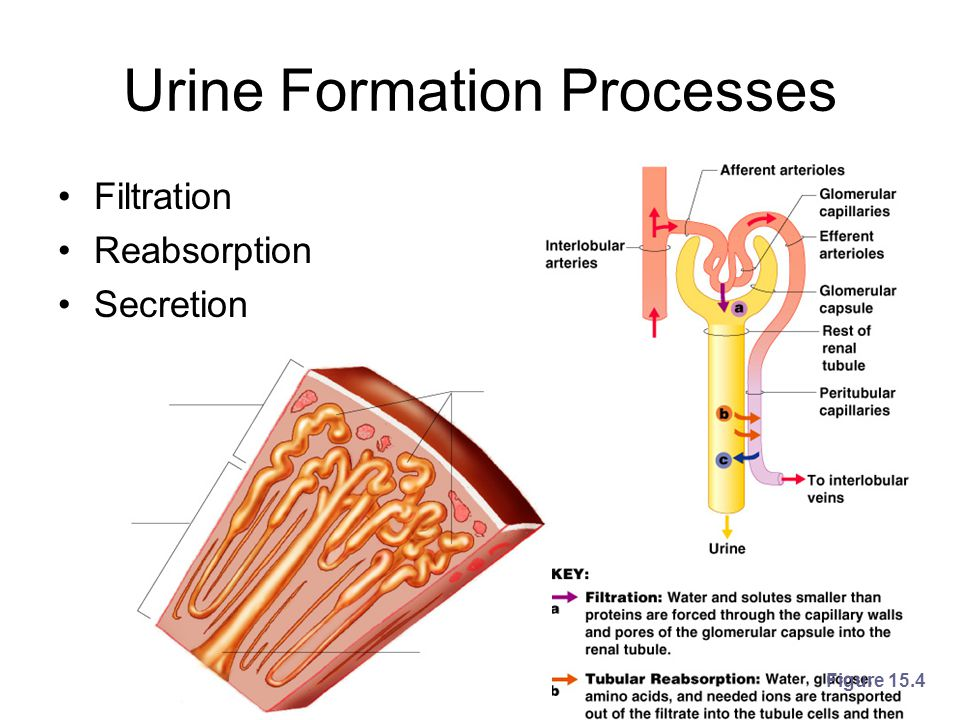 Urine Formation Processes