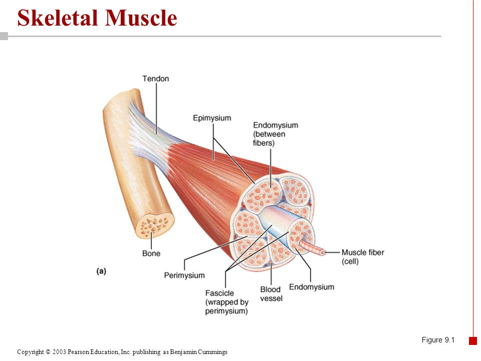 Skeletal Muscle Figure 9.1