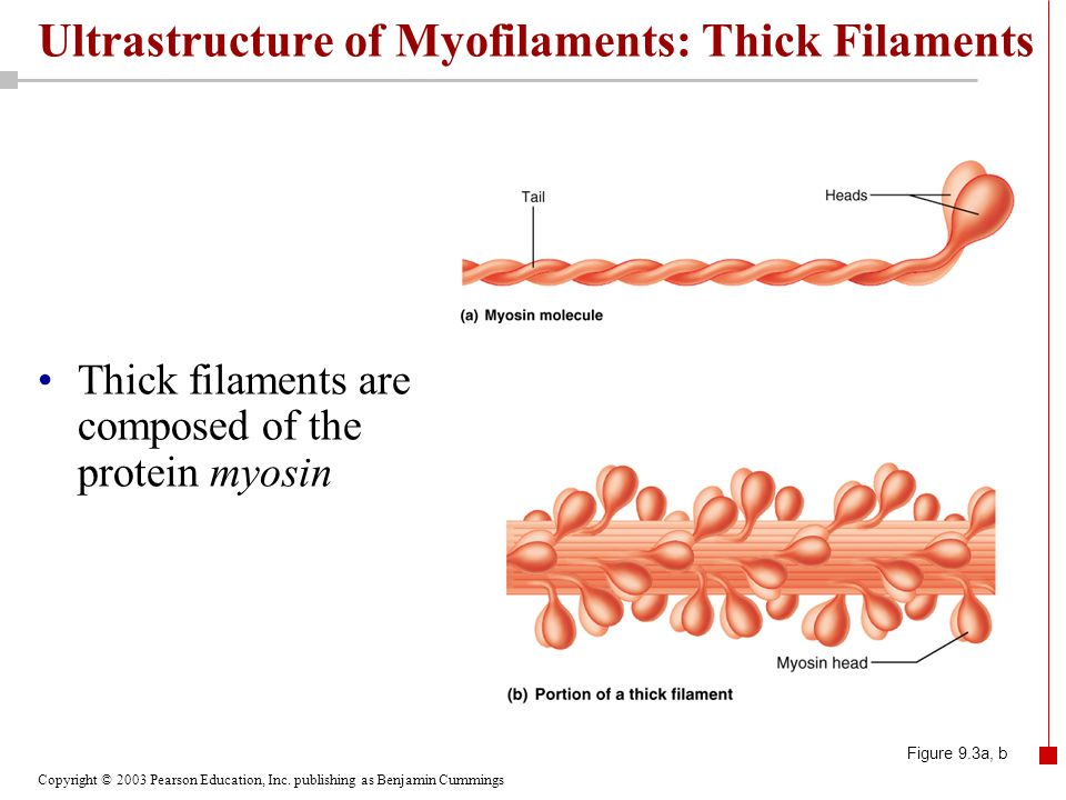 Ultrastructure of Myofilaments: Thick Filaments