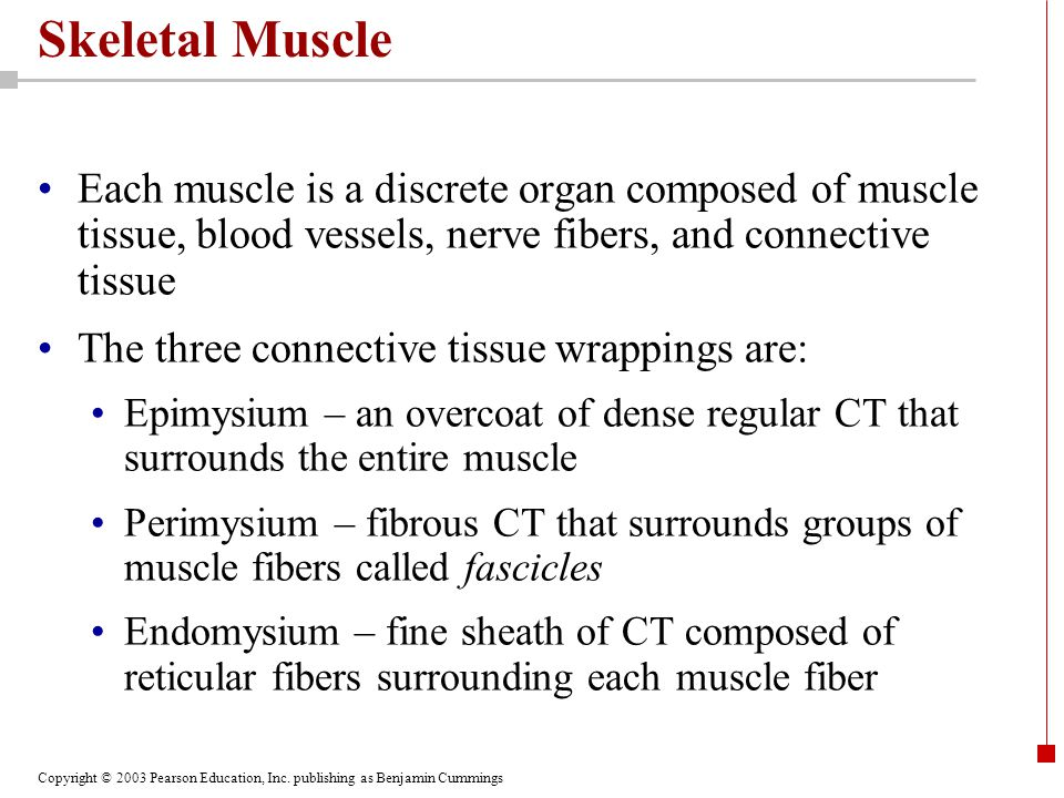 Skeletal Muscle Each muscle is a discrete organ composed of muscle tissue, blood vessels, nerve fibers, and connective tissue.