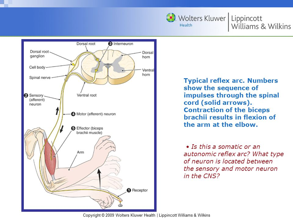 Typical reflex arc. Numbers show the sequence of impulses through the spinal cord (solid arrows). Contraction of the biceps brachii results in flexion of the arm at the elbow.