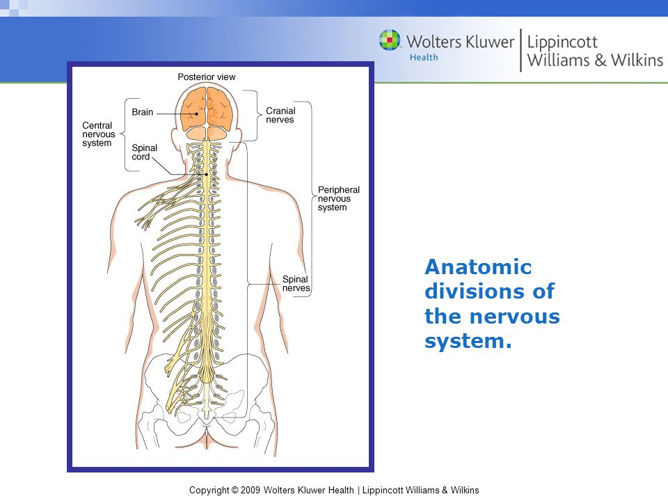 Anatomic divisions of the nervous system.