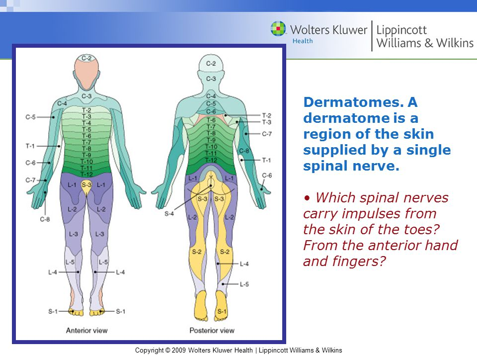 Dermatomes. A dermatome is a region of the skin supplied by a single spinal nerve.