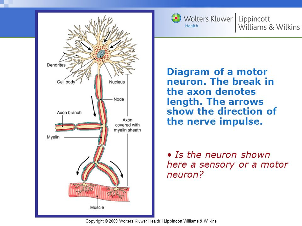 Diagram of a motor neuron. The break in the axon denotes length