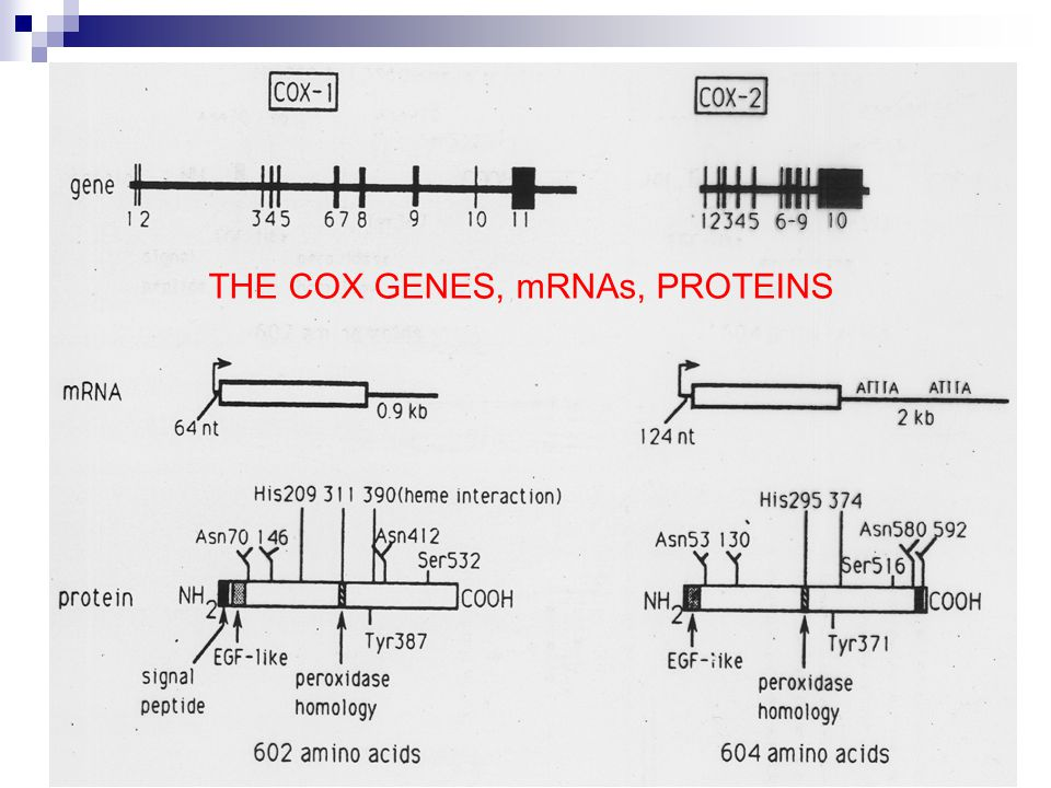 THE COX GENES, mRNAs, PROTEINS