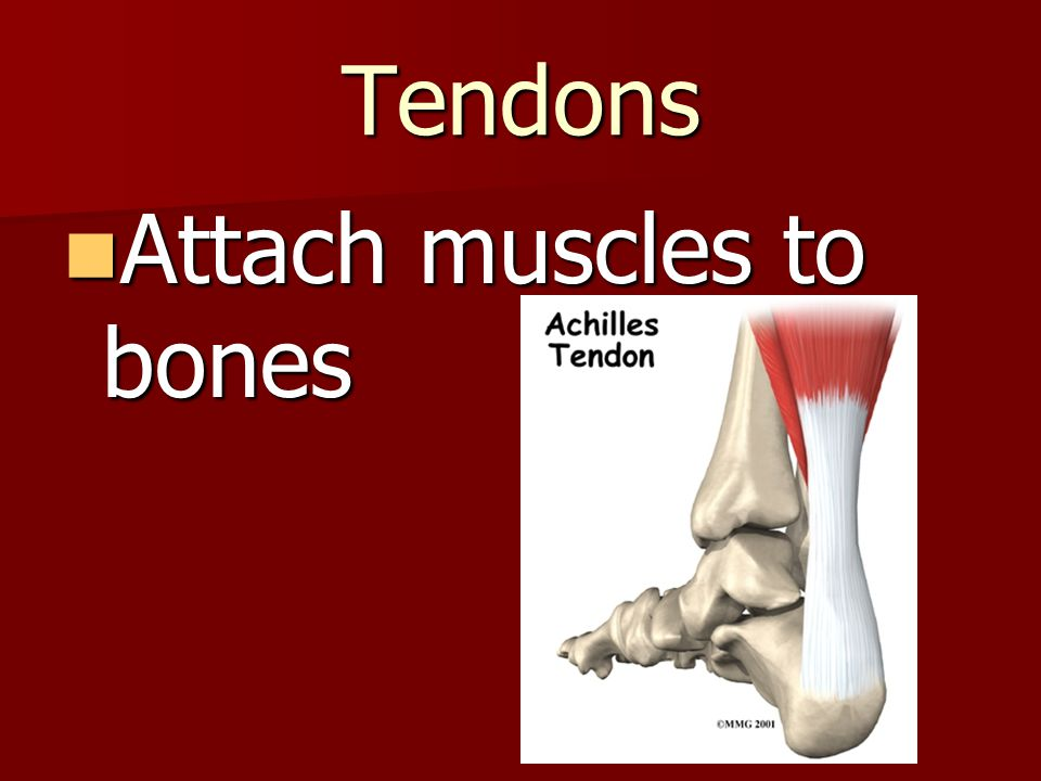 Tendons Attach muscles to bones