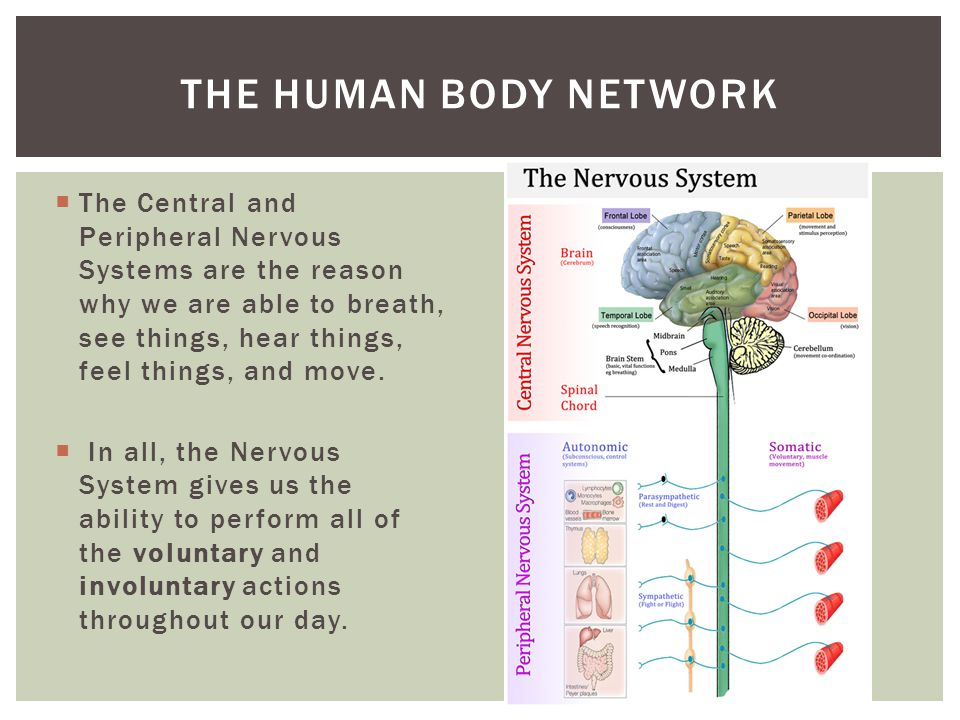 The human body network