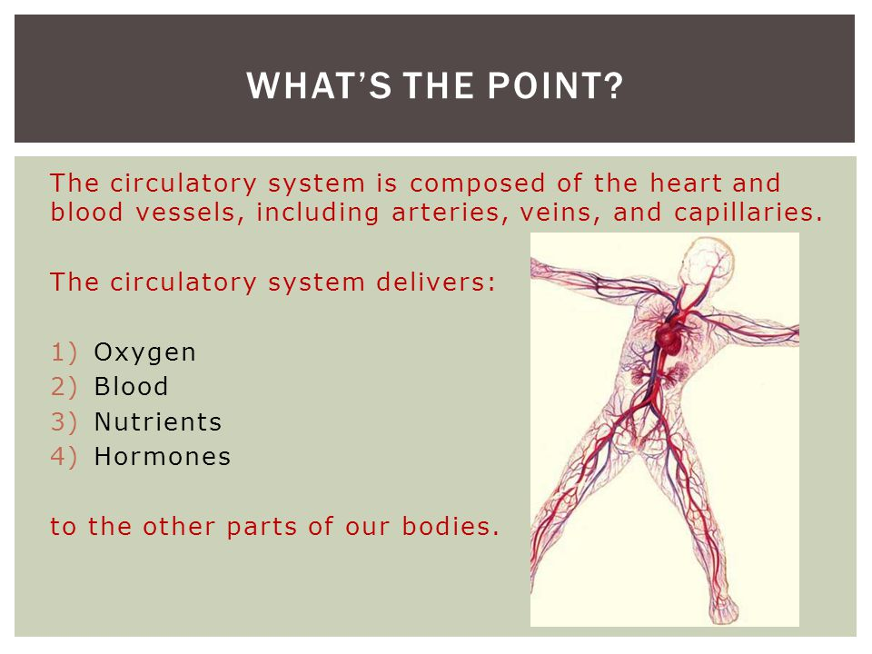 What's the point The circulatory system is composed of the heart and blood vessels, including arteries, veins, and capillaries.