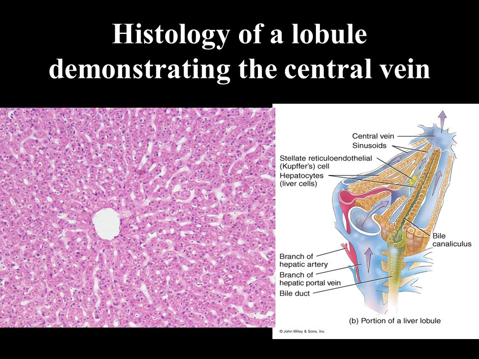 Histology of a lobule demonstrating the central vein