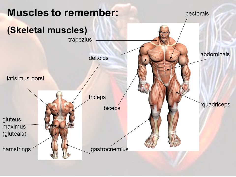 Muscles to remember: (Skeletal muscles) pectorals trapezius abdominals