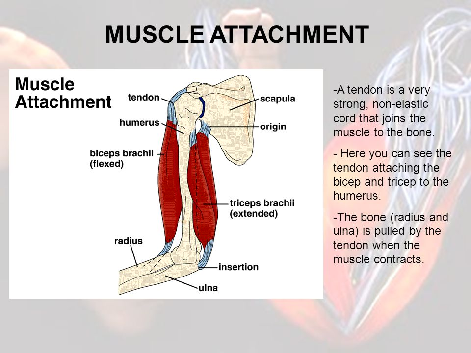 MUSCLE ATTACHMENT A tendon is a very strong, non-elastic cord that joins the muscle to the bone.