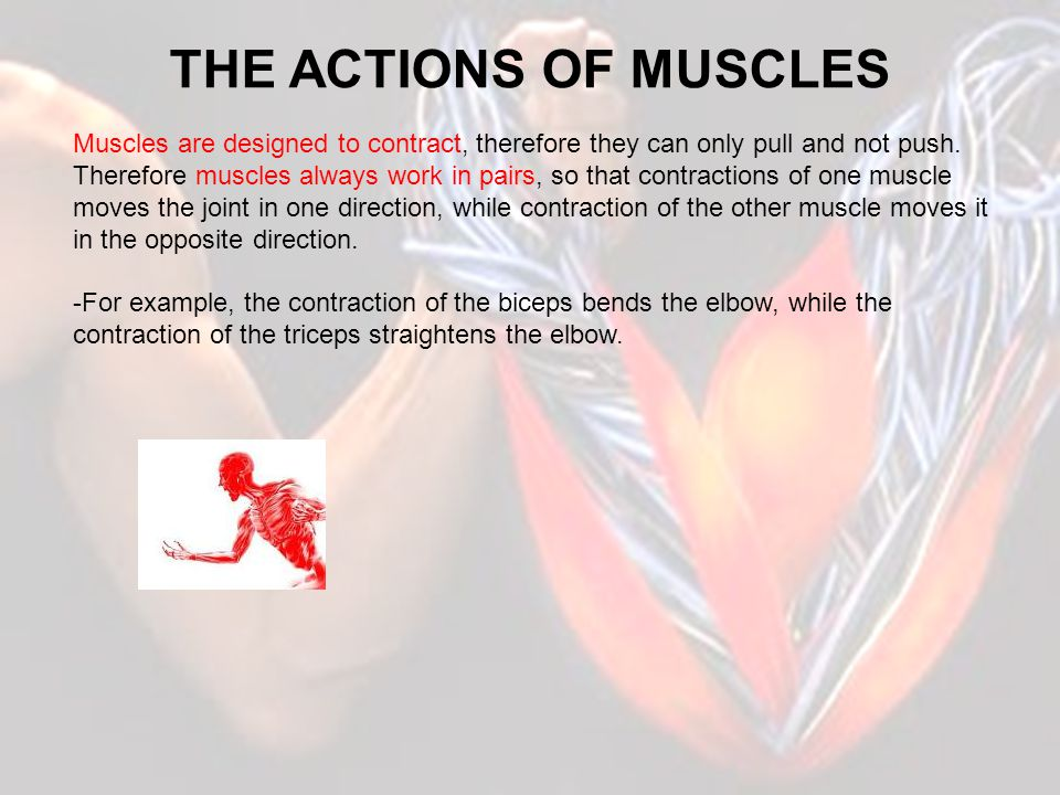 THE ACTIONS OF MUSCLES