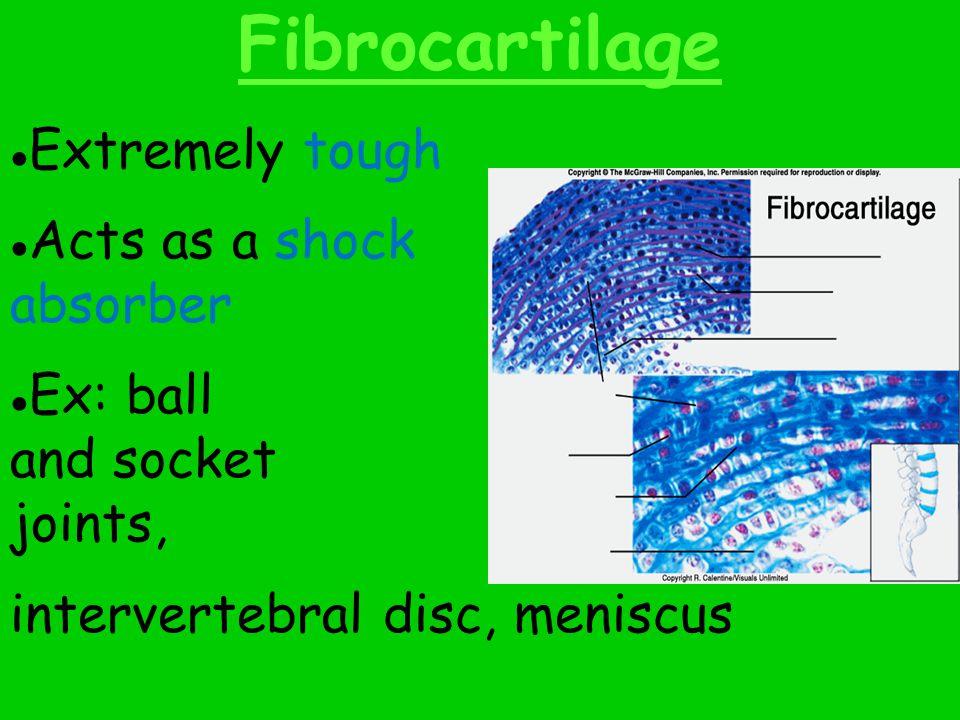 Elastic Cartilage Abundance of elastin for stretching capability