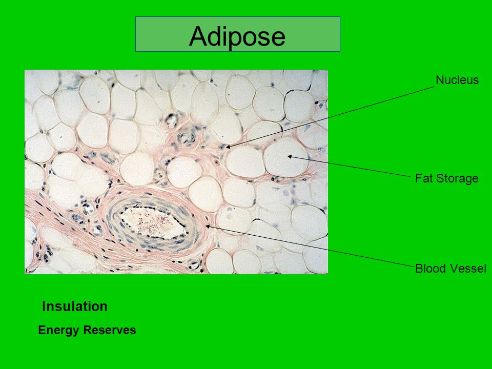 Adipose Fat (White): Used for insulation, energy reserve, fat storage