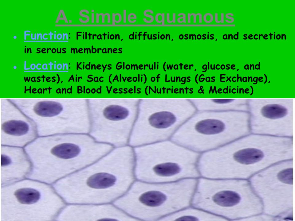 B. Simple Cuboidal Function: Secretion and Absorption