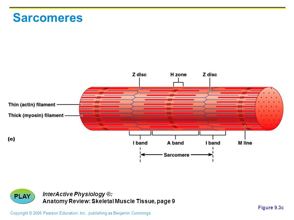 Sarcomeres PLAY InterActive Physiology ®: