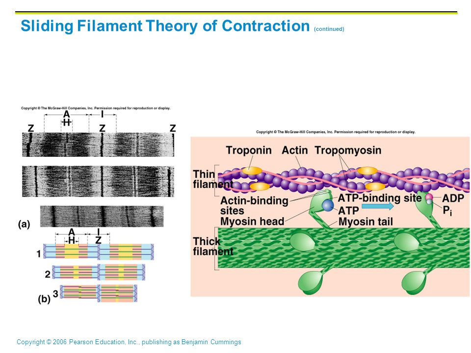 Sliding Filament Theory of Contraction (continued)