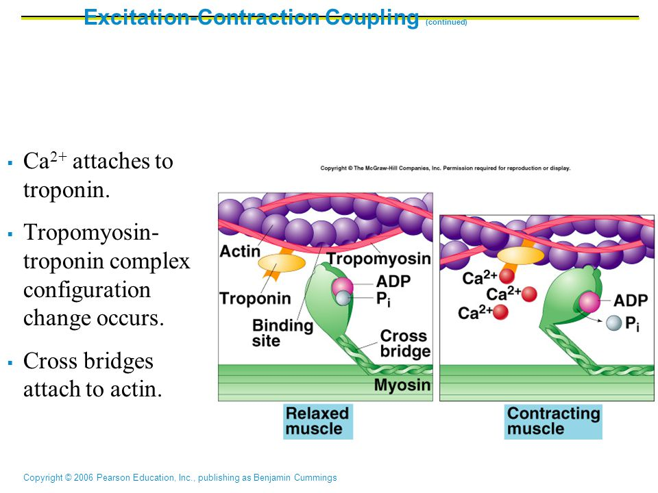 Excitation-Contraction Coupling (continued)