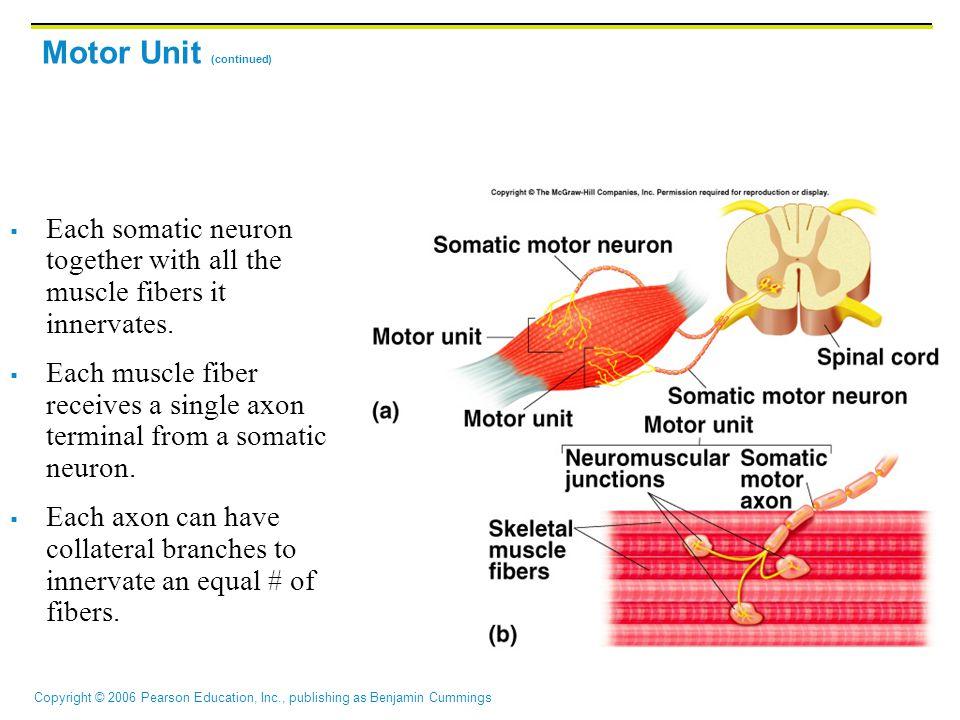 Motor Unit (continued)