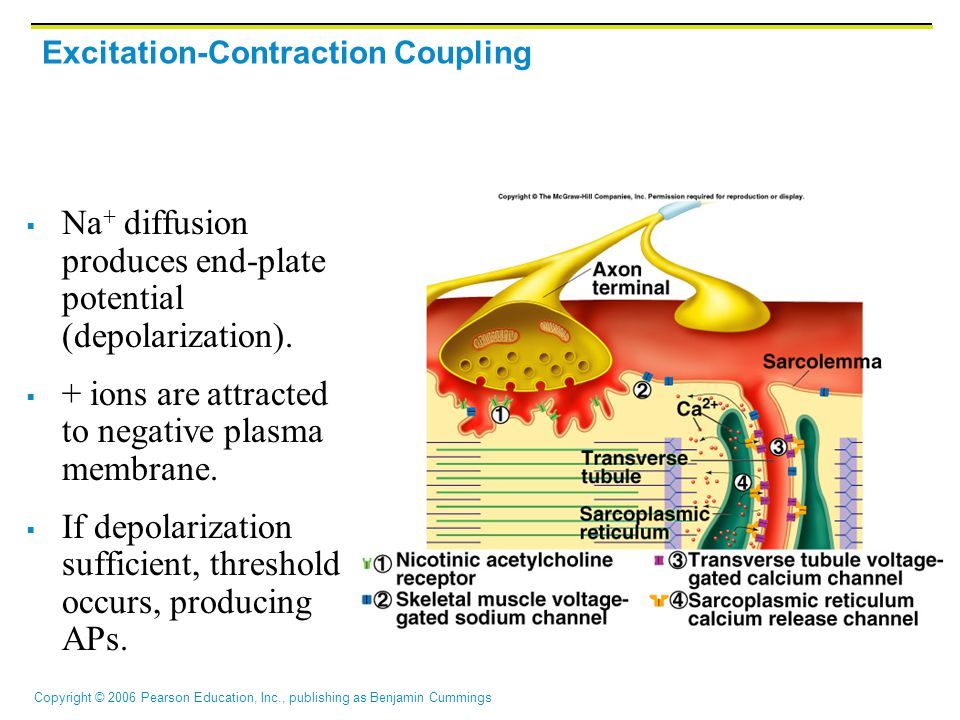 Excitation-Contraction Coupling
