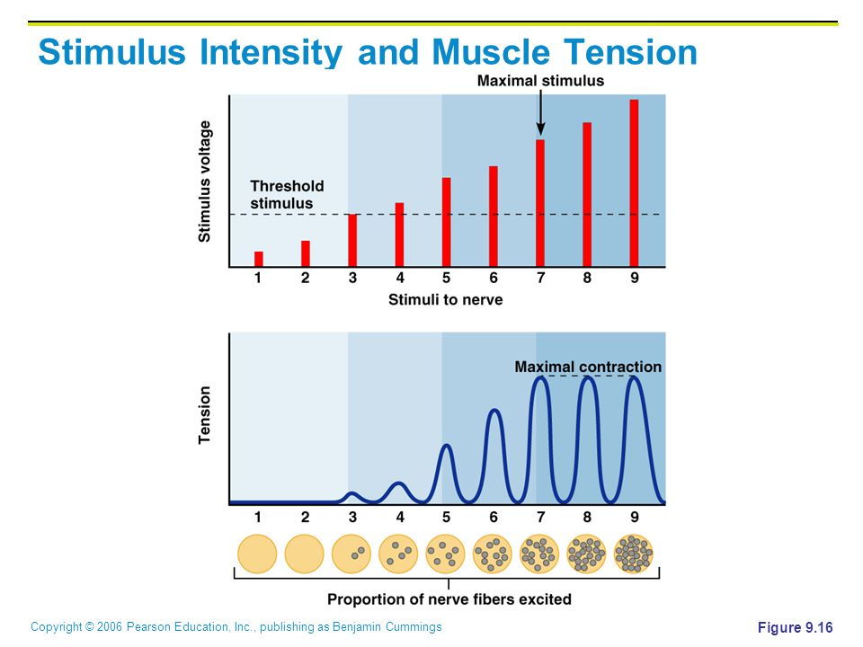 Stimulus Intensity and Muscle Tension