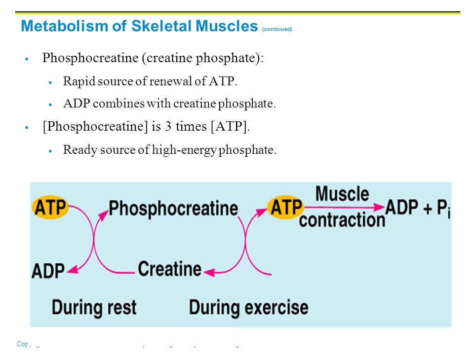 Metabolism of Skeletal Muscles (continued)
