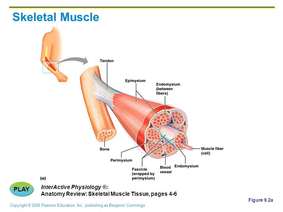 Skeletal Muscle PLAY InterActive Physiology ®: