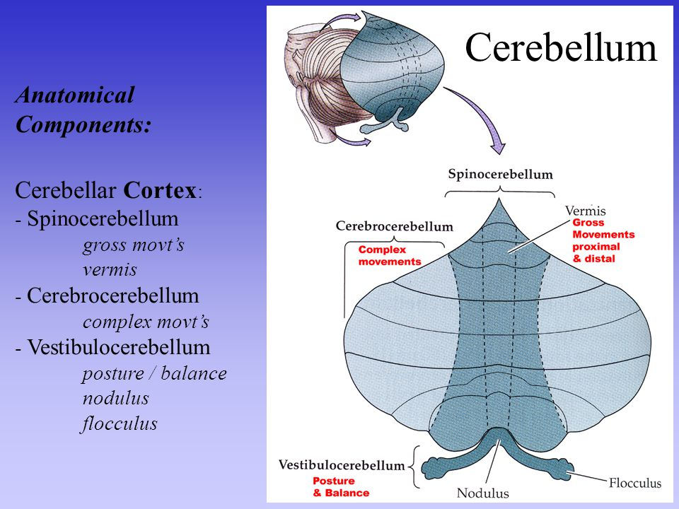 Cerebellum Anatomical Components: Cerebellar Cortex: - Spinocerebellum