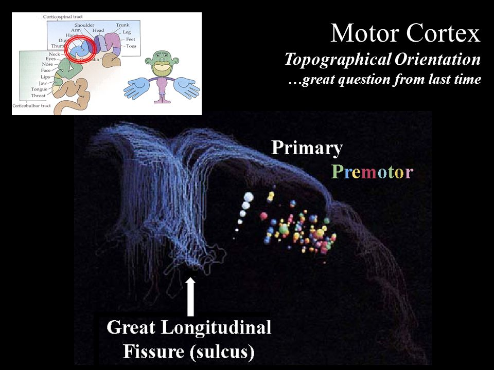 Motor Cortex Topographical Orientation …great question from last time