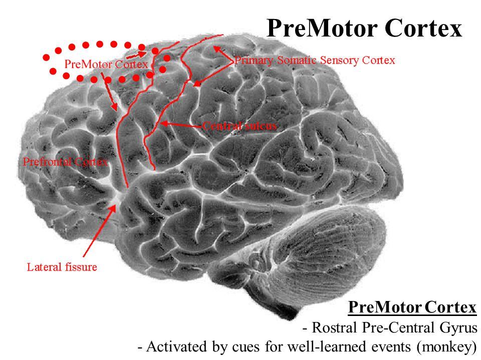 PreMotor Cortex PreMotor Cortex - Rostral Pre-Central Gyrus