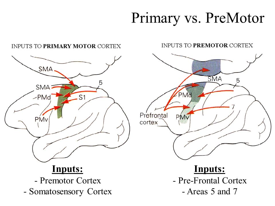 - Somatosensory Cortex