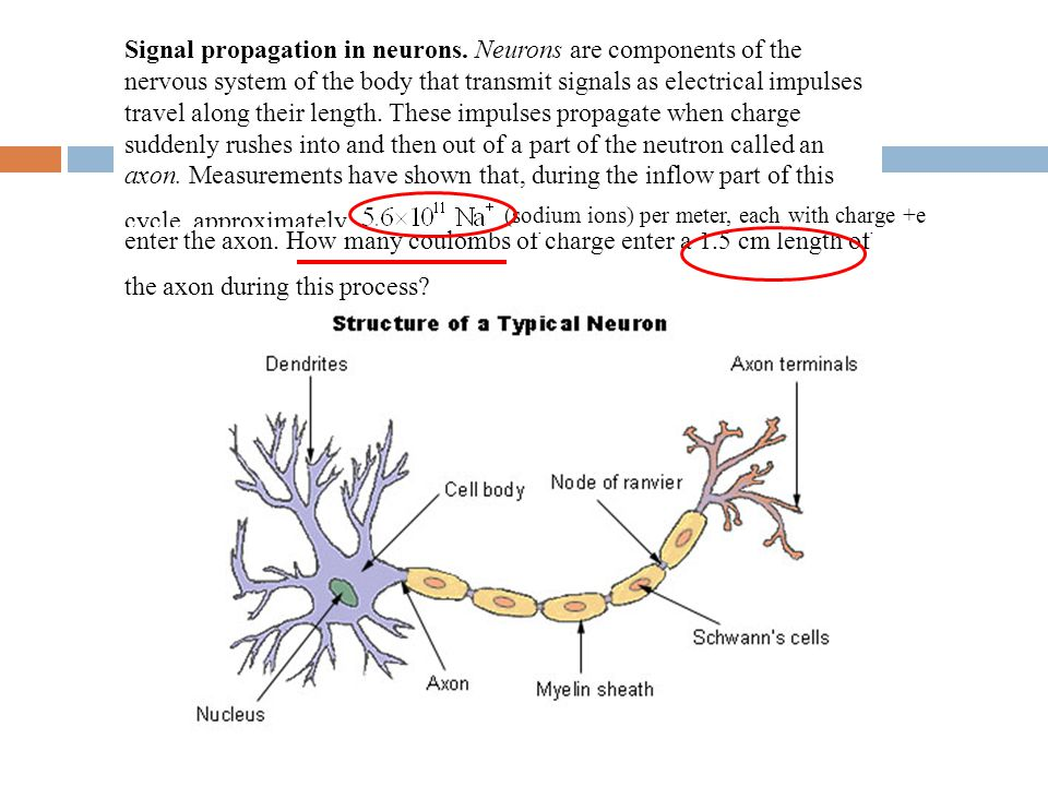 Signal propagation in neurons