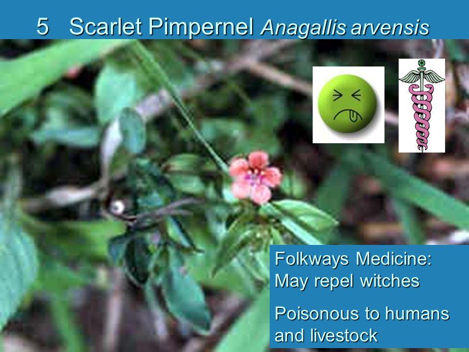 5 Scarlet Pimpernel Anagallis arvensis