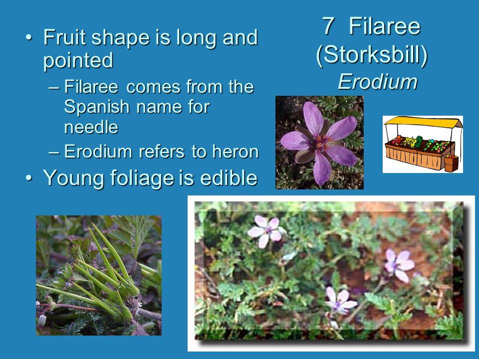 7 Filaree (Storksbill) Erodium