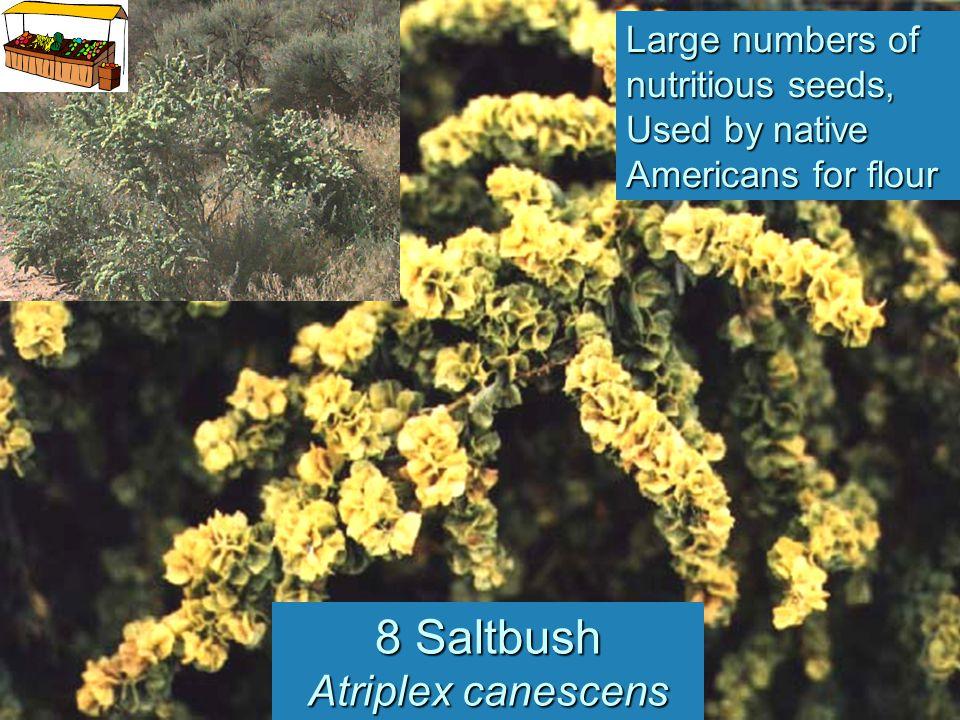 8 Saltbush Atriplex canescens