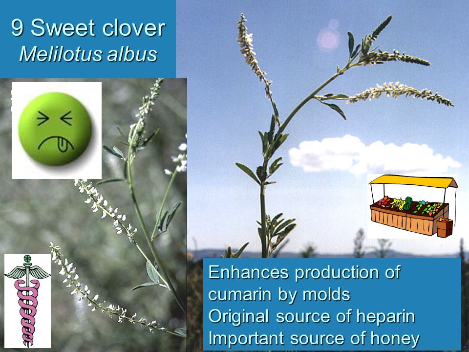 9 Sweet clover Melilotus albus