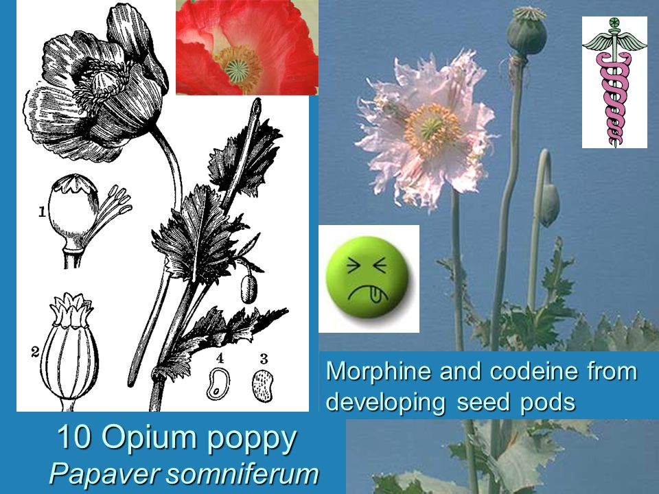 10 Opium poppy Papaver somniferum