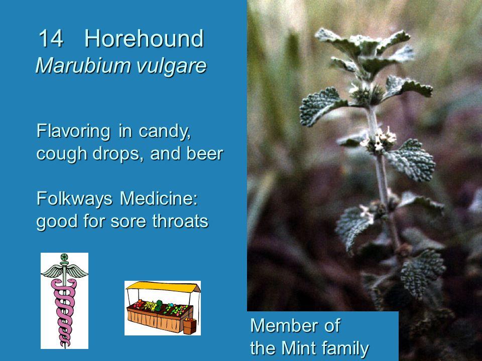 14 Horehound Marubium vulgare