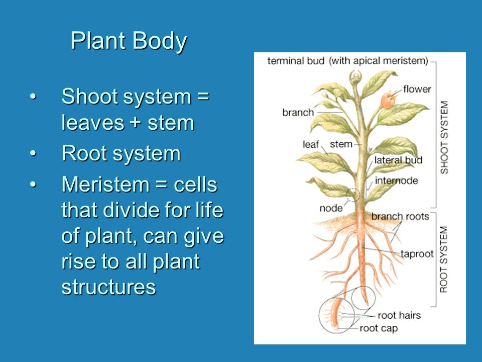 Plant Body Shoot system = leaves + stem Root system