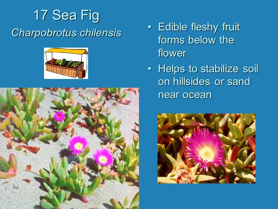 17 Sea Fig Charpobrotus chilensis